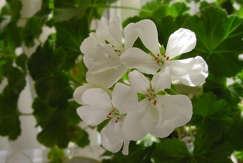 White perlargonium