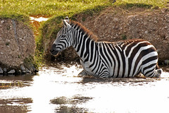 Stripes Won't Wash Off (Picture Taker 2) Tags: africa nature water beautiful animals closeup outdoors colorful pretty native wildlife zebra curious unusual wilderness plains waterhole upclose mammals wildanimals naturesfinest africaanimals impressedbeauty wowiekazowie naturewatcher