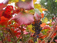 Vitus californica 'Roger's Red' (California grape) (nowhereonearth) Tags: autumn red orange plant color fall nature leaves fruit losangeles fallcolor seasonal harvest vine raisins foliage grapes deciduous changingcolors grapevine driedfruit californianative onthevine californiagrape californiawildgrape vitiscalifornicarogersred californiagraperogersred rogersredgrape janeauerbach pleasedonotreproducecopyorrepostphotographwithoutphotographerspermission