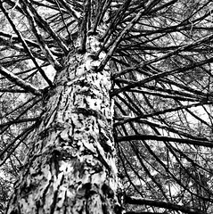 Man With a Mission, Plate 1 (Thomas Hawk) Tags: blackandwhite bw tree nature blackwhite yosemite natureshand