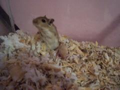 Slowly Getting Back (jencsi) Tags: gerbil babies cheyenne