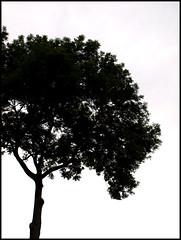 silhouette (sulamith.sallmann) Tags: bw tree silhouette deutschland single sw kontrast brandenburg baum schwarz challenger grafisch weis schattenriss stolzenhagen sulamithsallmann flickrchallengegroup juli2008