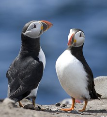 England, Farne (richard.mcmanus.) Tags: england bird northumberland puffin farne farneislands mcmanus doubledragon 10plusfaves photowild natureplus freenature naturelovely vosplusbellesphotos thewonderfulworldofbirds worldnatureclose feathorsbeaks