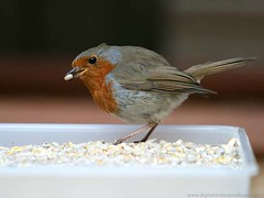 Bird - Robin Red Breast Eating Bird Seed