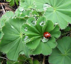 Lady's mantle (Julia Schaefers) Tags: flower garden julia tuin bloem ladysmantle vrouwenmantel schaefers