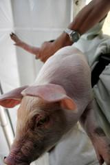 Cerdo en Granjas Carroll Perote