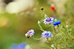 bachelor (CortneyR-) Tags: blue flower garden dof bokeh button blooms mygarden wildflower f28 cornflower bachelors storypeople sigma105mm goldenvisions