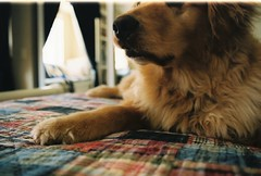 Lucky (Emma Werderman) Tags: dog goldenretriever fur nose gold bed paws plaid