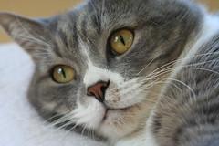 mr. kitty 1/5 (photocatt) Tags: cats cat feline tabby felines mrkitty bicolor
