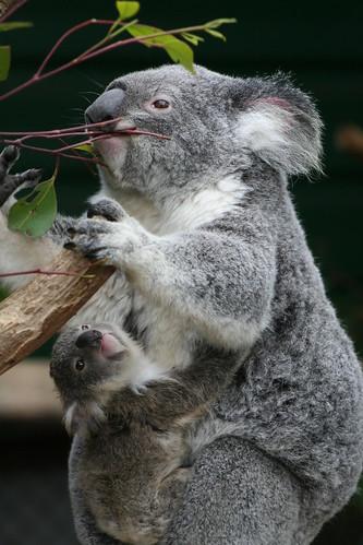 フリー画像| 動物写真| 哺乳類| コアラ| 親子/家族|       フリー素材|