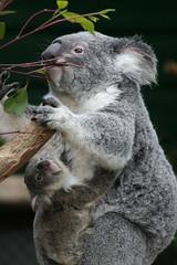 [フリー画像] [動物写真] [哺乳類] [コアラ] [親子/家族]       [フリー素材]