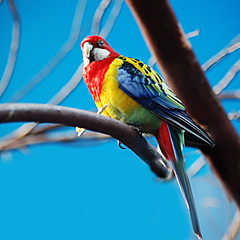 eastern rosella parrot (photopunx2) Tags: wild sky tree bird nature colors beauty fly rainbow branch parrot perch eastern rosella aplusphoto colourartaward artlegacy