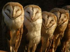 [フリー画像] [動物写真] [鳥類] [猛禽類] [梟/フクロウ] [メンフクロウ]      [フリー素材]