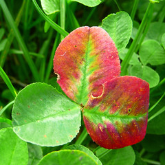 first cry (gorgeoux) Tags: park uk red london grass leaf foliage shamrock squared regents rgreen