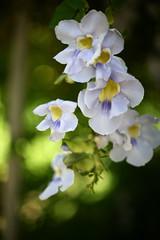 Falling from the sky (NateVenture) Tags: plant flower japan canon nikon asia  5d okinawa nikkor orient  fareast manualfocus ais f12 pacifc 50mmf12ais ryukyuislands 5012  50mmf12s ais50f12 nftoeosadapter retardedboke  5012s