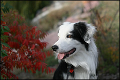 Fall Colors (Anda74) Tags: autumn fall colorado canonef50mmf18 explore bordercollie ouzo mywinners aplusphoto thesuperbmasterpiece petsaroundtheworld
