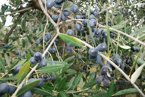 olive picking in tuscany