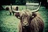 Highlands Cattle (Manlio Castagna) Tags: animal scotland dof cattle bokeh scottish highland vignetting manlio castagna abigfave manliocastagna manliok