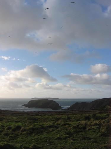 Seagulls over Skomer