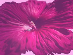 red-worked-hibiscus (fancee1960) Tags: pink flowers summer flower beautiful colorful neon dynamic bright vibrant vivid hibiscus massive brilliant bold fascinating exuberant vigor evocative