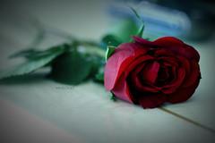 ,,     (Weda3eah*) Tags: red 3 flower green dark table gold amazing sad song l qatar 3abadi vertu wowness weda3eah tibeeh