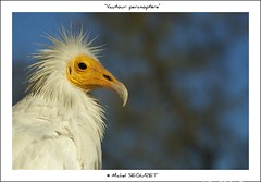 Vautour percnoptre (Michel Seguret) Tags: wild fab france verde green bird nature animal animals fun tiere nikon earth postcard vert paca sensational provence grn fabulous michel iq sublime 13 animaux atm oiseau animale naturesbest tier vogel camargue smrgsbord potofgold cartepostale bouchesdurhone flamant seguret excelent nikond200 inspiredbylove thinkgreen kartpostal amazingcapture golddragon diamondheart diamondstars exemplaryshotsflickrsbest wildearth thisphotorocks dragongoldaward flickrestrellas thebestofday gnneniyisi arealgem thebestoftheday checkoutmynewpics spiritofphotography gnnenlyisi qualitypixels flickrlovers worldnaturewildlifecloseup animalsoftheworld flickrverte naturallymagnificent vosplusbellesphotos frommylens momentdimagination flickrpopularphotographer croquenature excelenceofphotographer excelenceofphotographeraward digitalartfx atmphotography michelseguret