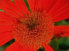Red Orange Gerbera Daisy (MidiMacMan) Tags: desktop pink flowers wallpaper orange plants flower color macro nature floral botanical flora colorful bright blossom background grow vivid stamens download daisy bloom asteraceae pinkflowers floweringplants daisyfamily midimacman stegeman asterfamily fauxtography angiosperms angiosperm americanartist gerberra endosperm johnathanjstegeman top20red midimacroman flowersmakeeveryonehappy johnathanjosephstegeman johnathanstegeman familiesoffloweringplants