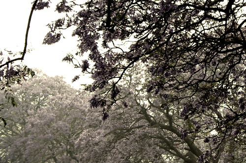 canopy of violet
