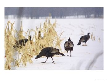 Wild-Turkey-Pick-Over-a-Corn-Field-in-Williston-Vermont-Wednesday-March-5-2003-Posters.jpg