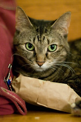 don't touch my bag (embem30) Tags: christmas cat rizzo