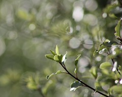 Happy New Year !!!! (Mary Trebilco) Tags: tree green nature leaves wednesday garden leaf bokeh explore rebelxt shrub 2008 happynewyear newtoy hbw sooc canoneos1000d