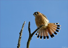 American Kestrel (...-Wink-...) Tags: bird oregon falcon americankestrel naturesfinest dmcfz8
