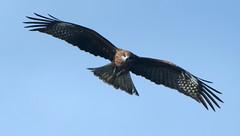Black Kite (machu.) Tags: sky bird sendai matsushima