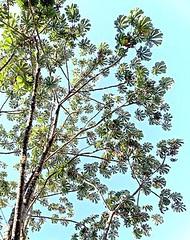 Pumpwoods (Cecropia pachystachya) ambay ................. Original= (808 x 1024)