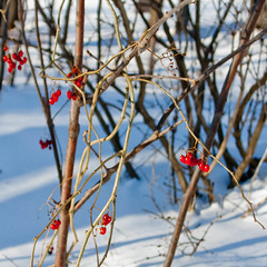 Winter Berries (Ulrich Thumult) Tags: canada quebec vaudreuildorion seasons snow winter