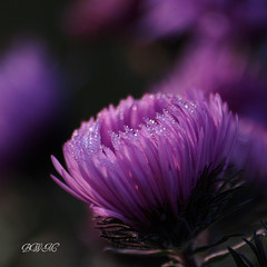 Deep Purple ( B i b b i ) Tags: flowers autumn flower fall canon frost purple sweden stockholm bokeh lila blomma sverige blommor hst 2007 allotmentgarden pps 30d hsselby compositae canon30d asternovibelgii sigma70300mmf456apodgmacro kolonitrdgrd hstaster hsselbyslottskolonitrdgrd thehsselbycastleallotmentgarden perfectpurplesaturdays