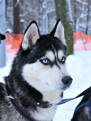 Dogsled Race, Jan.10 Saint-Petersburg (tiggra15 / Svetlana Serdyukova) Tags: winter dog snow sport race speed nikon husky blueeyes competition saintpetersburg breed nikkor harness mushing dogsled d300 dogsledracing tiggra15 1755mmf28d