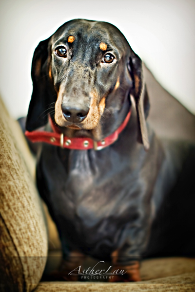 The only male Dachshund
