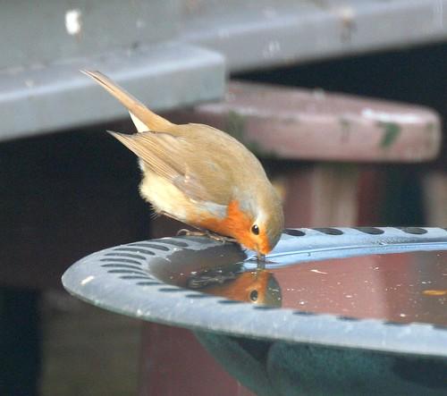 Robin Drinking