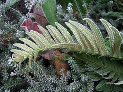 Fern Tableau (gherringer) Tags: canada fern frost bc britishcolumbia burnaby 3mp