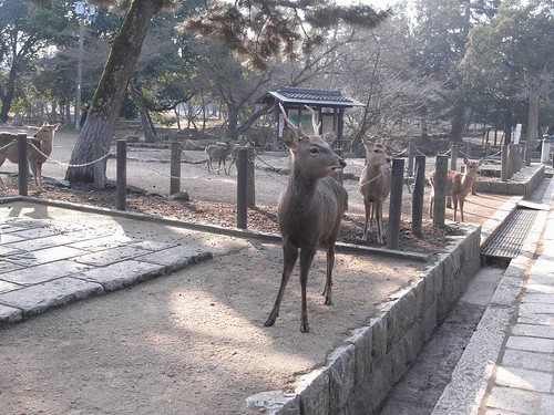 早朝の東大寺(鹿たち)-05