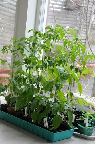 tomatplantor-1004