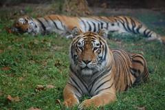 Bengal Tiger (Panthera tigris tigris) (fisherbray) Tags: usa unitedstates florida tiger orangecounty waltdisneyworld animalkingdom bengaltiger pantheratigris baylake maharajahjungletrek pantheratigristigris royalbengaltiger fisherbray