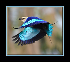 Blue Bellied Roller (davolly59) Tags: birds image westafrica gambia thegambia autofocus kotu tmba specanimal colorphotoaward platinumheartaward natureoutpost rubyphotographer 100commentgroup coth5 mygearandmepremium mygearandmesilver mygearandmegold hg~sb ringexcellence birdsofthegambia dblringexcellence tplringexcellence pipexcellence vpu1 flickrstruereflection1 flickrstruereflection2 flickrstruereflection3 flickrstruereflection4 flickrstruereflection5 flickrstruereflection6 flickrstruereflection7 eltringexcellence flickrstruereflectionexcellence rememberthatmomentlevel4 rememberthatmomentlevel1 rememberthatmomentlevel2 rememberthatmomentlevel3 rememberthatmomentlevel7 rememberthatmomentlevel5 rememberthatmomentlevel6 rememberthatmomentlevel8 vigilantphotographersunite vpu2 vpu3 vpu4 vpu5 vpu6 vpu7 vpu8 vpu9 vpu10