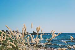 Folhammar, Gotland (jennydasdesign) Tags: travel sea vacation grass sweden bluesky naturereserve sverige gotland 2009 straws hav grs naturreservat folhammar sonydslra300