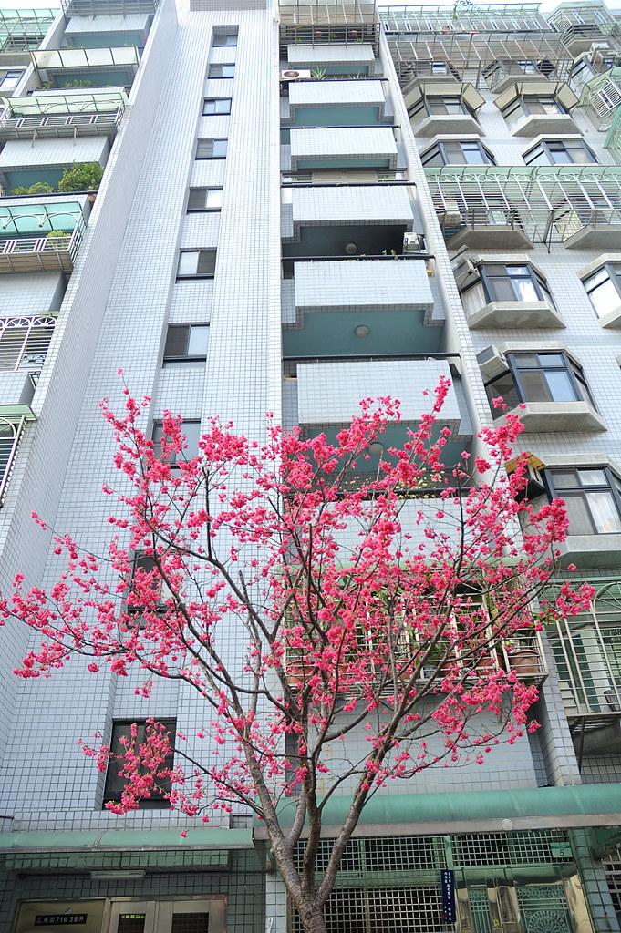 櫻花跟大樓