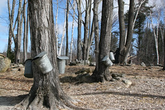 Tapping Maple Trees Old Fashion Way