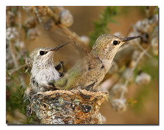 "Annas Hummingbirds - ""I'm out of here"" (lselman) Tags: nature birds hummingbird nest birdsnest annashummingbird fledgeling fledge specanimal mywinners aplusphoto megashot"