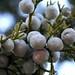 J Berries