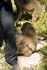 Friendly (LP365) Tags: africa southafrica hiking capetown cape baboon capepoint fynbos glencairn baboonmatters
